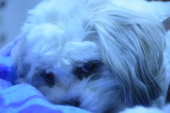 Hond die voor flat denken stock foto's