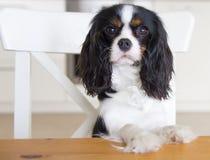 Hond die voor voedsel bedelen Royalty-vrije Stock Afbeeldingen