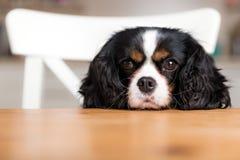 Hond die voor voedsel bedelt Royalty-vrije Stock Afbeeldingen
