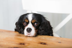 Hond die voor voedsel bedelt Stock Foto