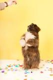 Hond die voor voedsel dansen Stock Afbeelding