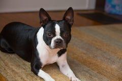 Hond die vooruit eruit zien Royalty-vrije Stock Foto's