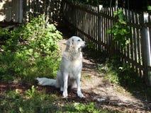 Hond die wacht houdt Stock Afbeeldingen
