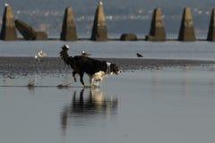 Hond die water op een strand tegenkomen royalty-vrije stock fotografie