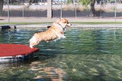 Hond die in water springen Stock Afbeeldingen