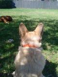 Hond die weg eruit zien Royalty-vrije Stock Foto