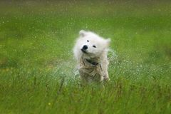 Hond die weg schudt Royalty-vrije Stock Afbeeldingen