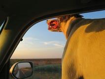 Hond die Wind vangen uit Autoraam Stock Foto's