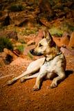 Hond die in woestijn ligt Stock Afbeelding
