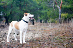 Hond die zich in hout bevinden Royalty-vrije Stock Afbeeldingen
