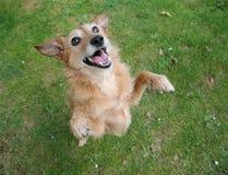 Hond die zich op achterste benen met een glimlach bevindt Royalty-vrije Stock Afbeeldingen