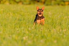 Hond die zich op een weide bevinden Stock Afbeelding
