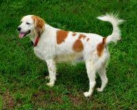 Hond die zich op het gras bevinden Stock Foto's