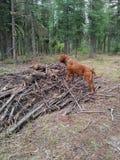 Hond die zich op hout bevinden Royalty-vrije Stock Fotografie