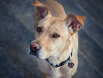 Hond die zich op treden bevindt die met anticiperen kijken stock foto's