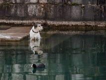 Hond die zich in rivier met het drijven eend bevinden Royalty-vrije Stock Afbeeldingen