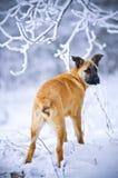 Hond die zich in sneeuw bevindt royalty-vrije stock foto's