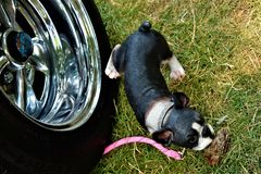 Hond die zijn been op een Band opheffen Stock Foto's