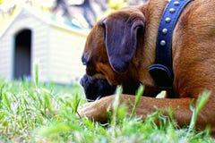 Hond die zijn cabine onder ogen zien Stock Fotografie