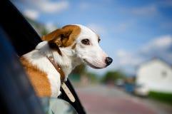 Hond die zijn hoofd plakt uit een autoraam Royalty-vrije Stock Afbeeldingen