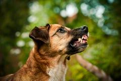 Hond die zijn tanden tonen Stock Afbeeldingen