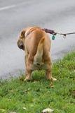 Hond die zijn wassingen doet Stock Afbeeldingen