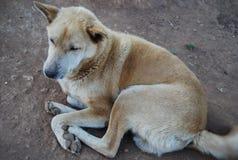 Hond, dier, leuk huisdier, lokaal, Zuidoost-Azië Royalty-vrije Stock Fotografie