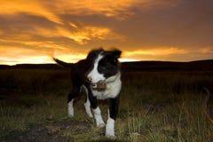 Hond, Dog. Hond tegen avondlucht; Dog against evening sky stock images