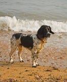 Hond door het overzees Stock Foto