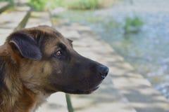 Hond door het zwembad stock foto's