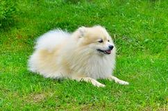 Hond Duitse Spitz Royalty-vrije Stock Foto's
