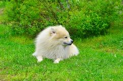 Hond Duitse Spitz Stock Afbeeldingen