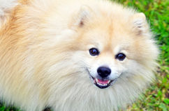 Hond Duitse Spitz Stock Foto's