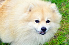 Hond Duitse Spitz Stock Foto