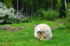 Hond Duitse Spitz Royalty-vrije Stock Fotografie