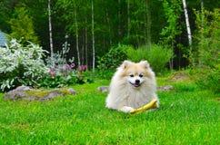 Hond Duitse Spitz Royalty-vrije Stock Afbeeldingen