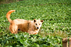 Hond in een aardbeilandbouwbedrijf Stock Afbeeldingen