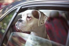 Hond in een auto royalty-vrije stock foto