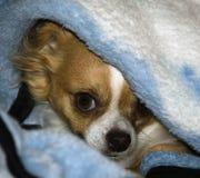 Hond in een deken Royalty-vrije Stock Afbeeldingen