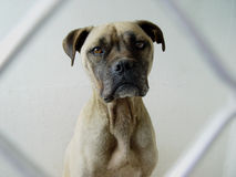 Hond in een kooi Stock Foto