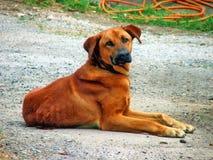 Hond in een landbouwbedrijf Stock Fotografie