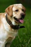 Hond een retriever in park Stock Fotografie