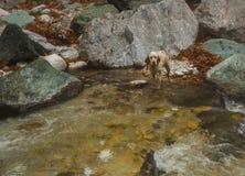 Hond in een rivier met gekleurde stenen en de hete lentes in Loutra Poz Stock Fotografie