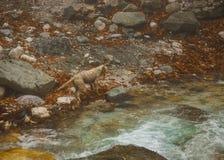Hond in een rivier met gekleurde stenen en de hete lentes in Loutra Poz Royalty-vrije Stock Foto's