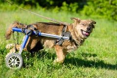 Hond in een rolstoel Stock Foto