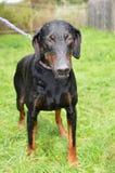 Hond in een schuilplaats Royalty-vrije Stock Foto's