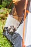 Hond in een tent royalty-vrije stock afbeelding