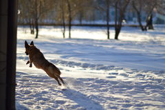 Hond en de winter Stock Foto