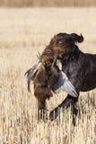Hond en een Fazant van de Haan stock afbeeldingen
