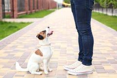 Hond en eigenaar Jack Russell Terrier in afwachting van een gang in het park, op de straat, geduldig en braaf Onderwijs en trein stock fotografie